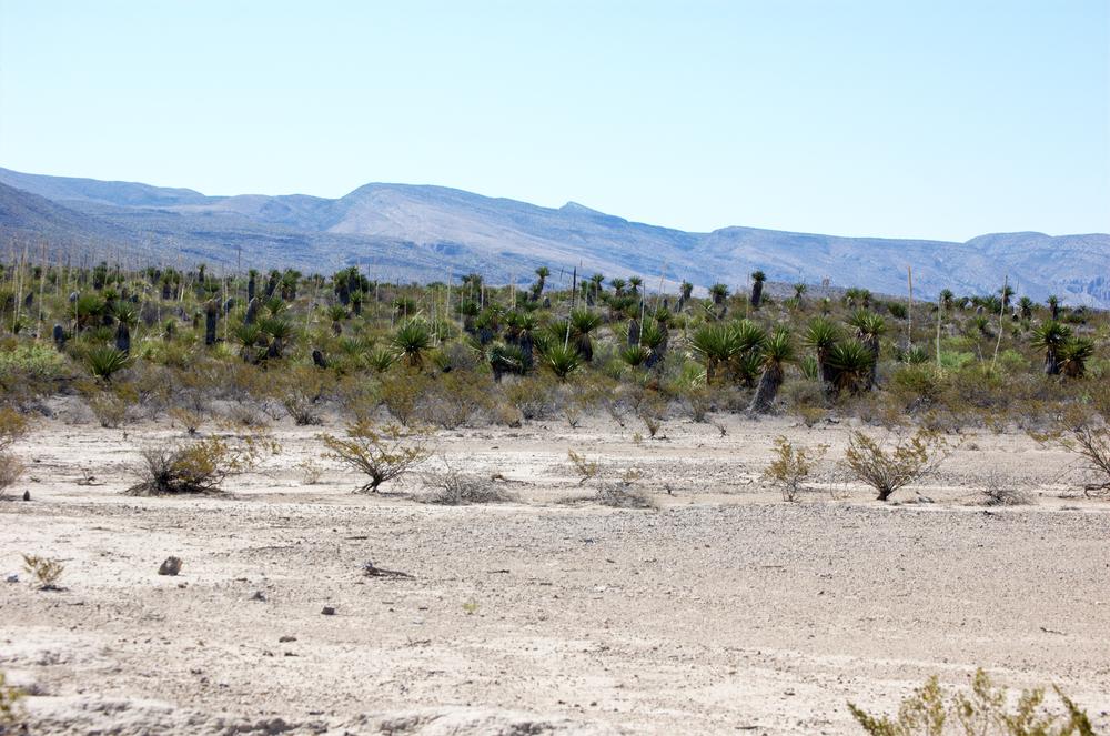 Dagger Flat, Yucca faxoniana