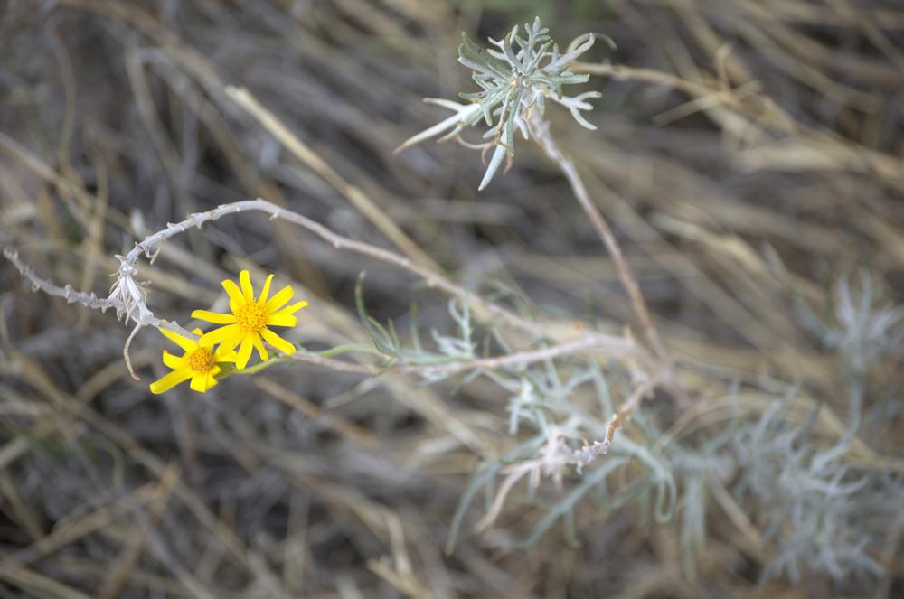Heterotheca canascens