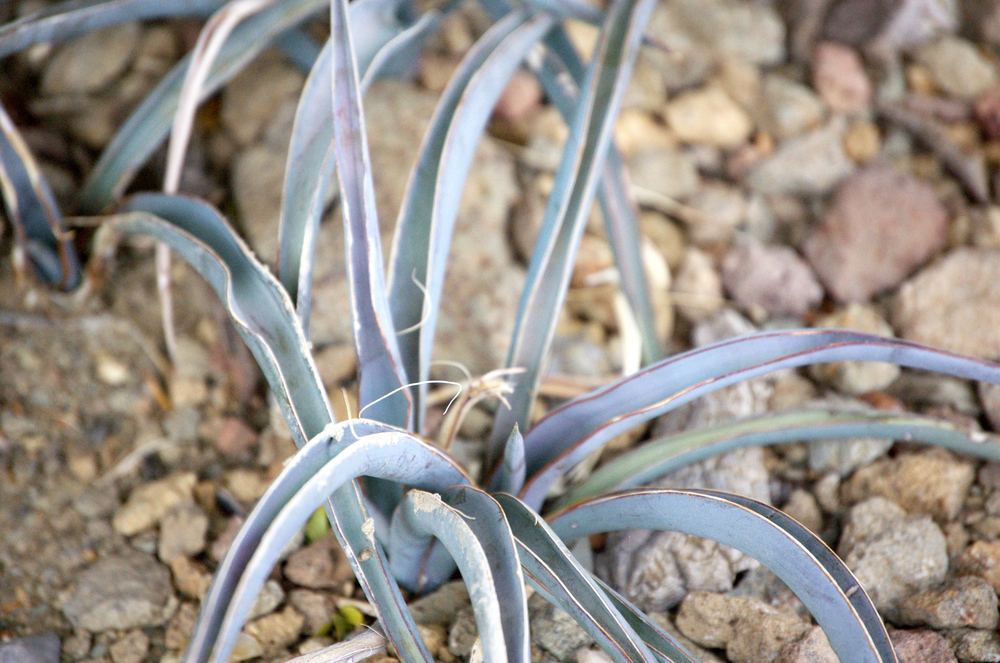 Yucca seedling