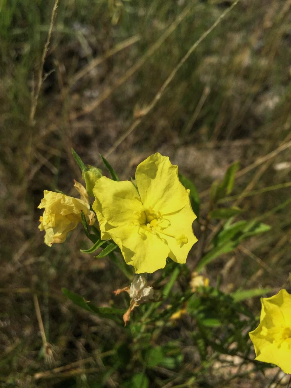Calylophus berlandieri (Oenothera)