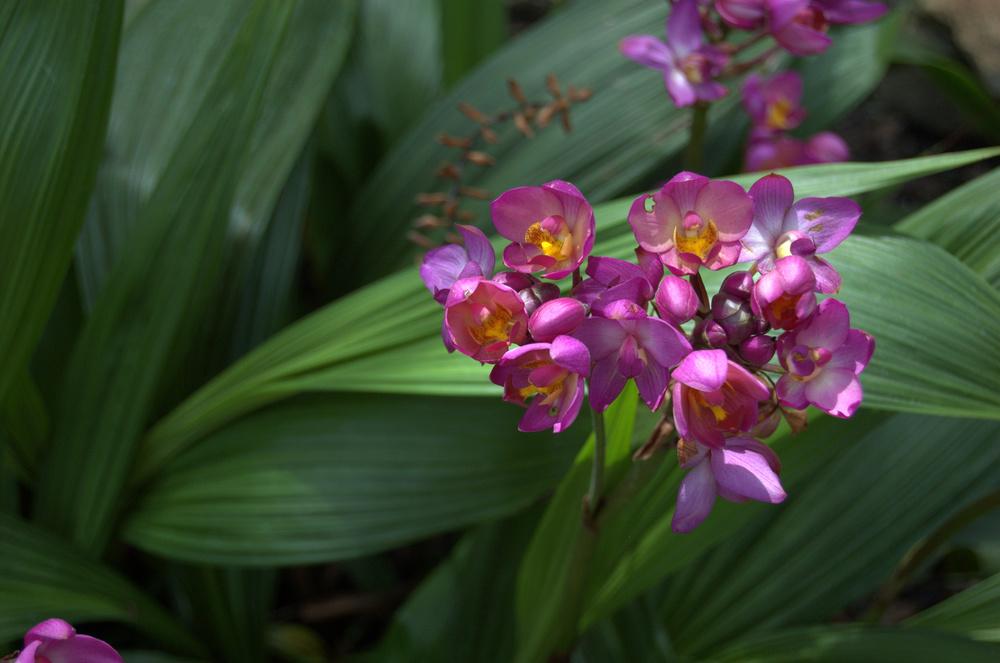 Spathoglottis plicata, Ground Orchid