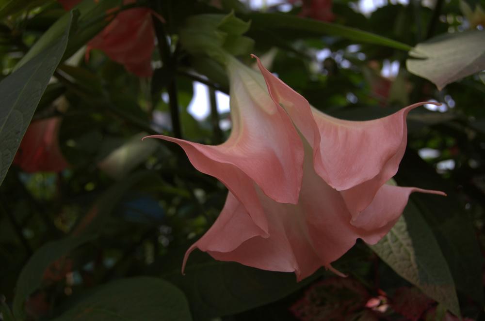 Datura stramonium, Angel's Trumpets