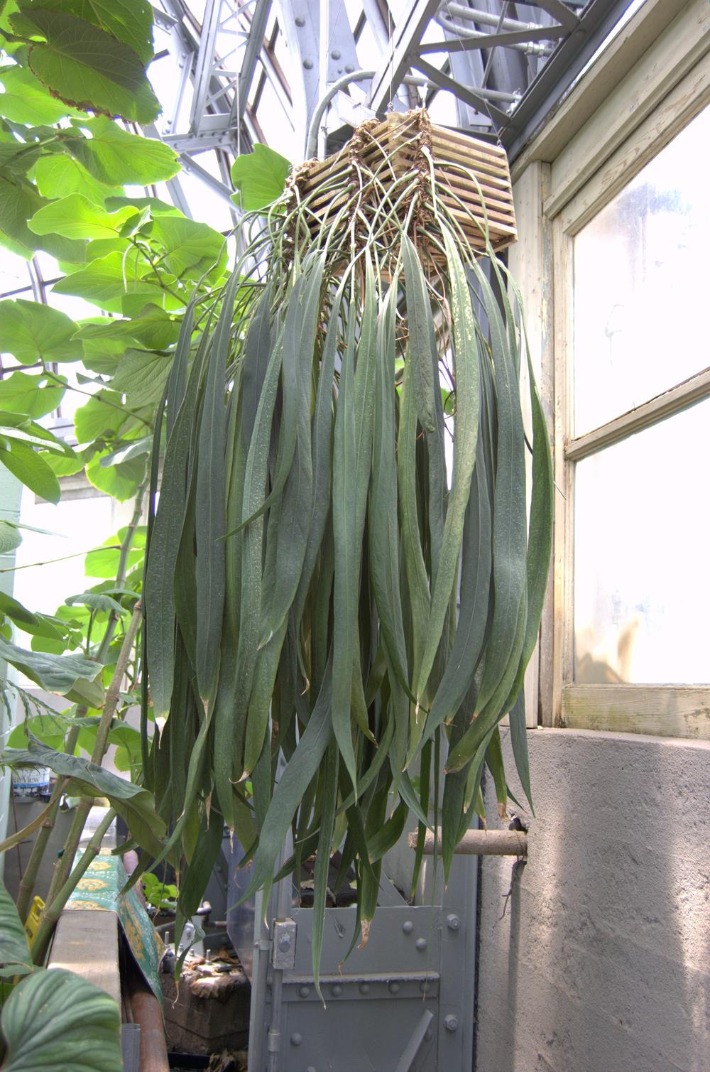 Anthurium vittariifolium, Strap Leaf Anthurium