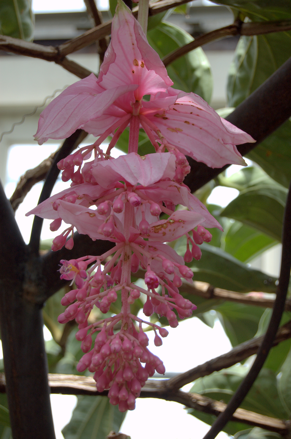 Medinilla magnifica, Pink Lantern