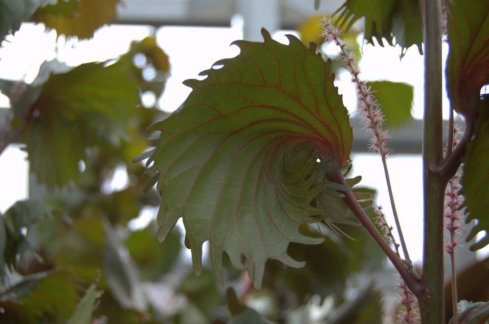 Acalypha wilkesiana 'Macafeeana', Copper Leaf