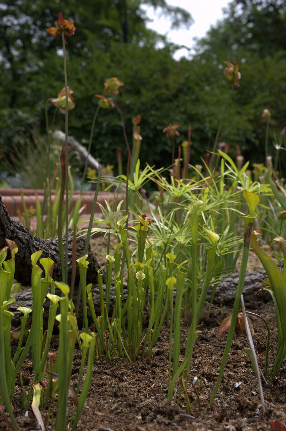 Sarracenia,Pitcher Plants