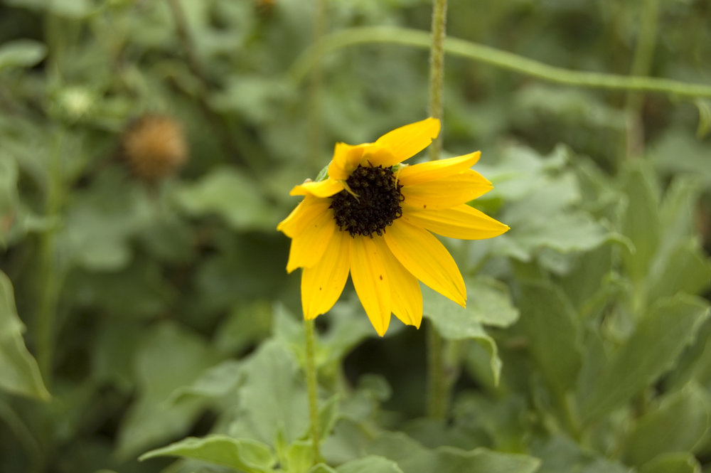 Helianthus debilis, Beach Sunflower