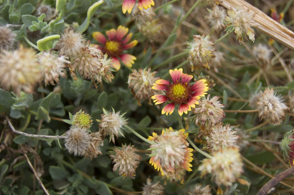 Gaillardia pulchella, Indian Blanket