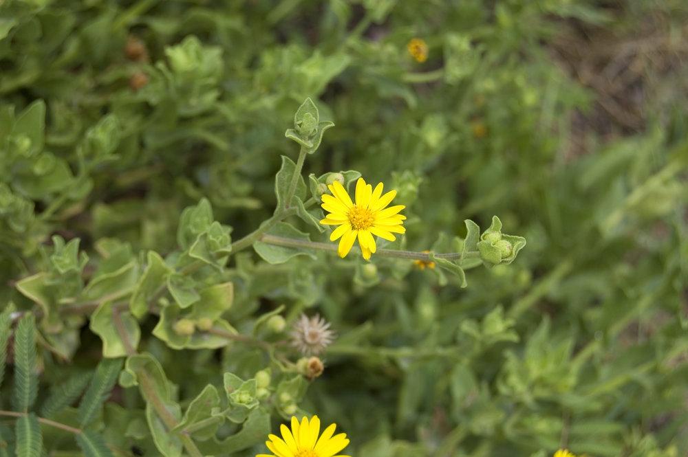 Heterotheca subaxillaris, Camphorweed