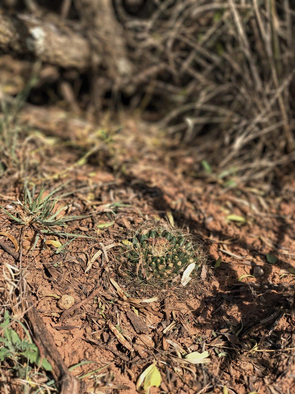 Mammillaria heyderi, Little Nipple Cactus