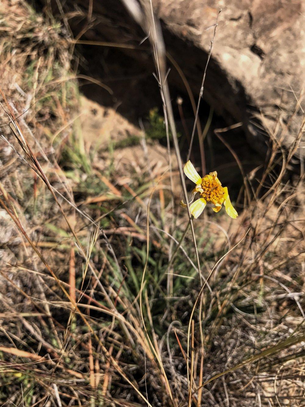 Tetraneuris linearifolia -or- scaposa, Four-nerve Daisy