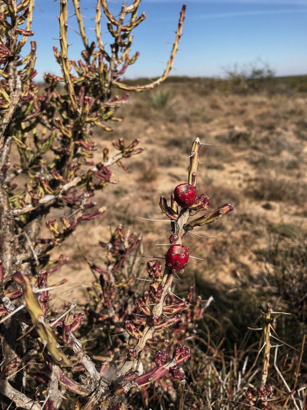 Cylindropuntia leptocaulis, Pencil Cactus