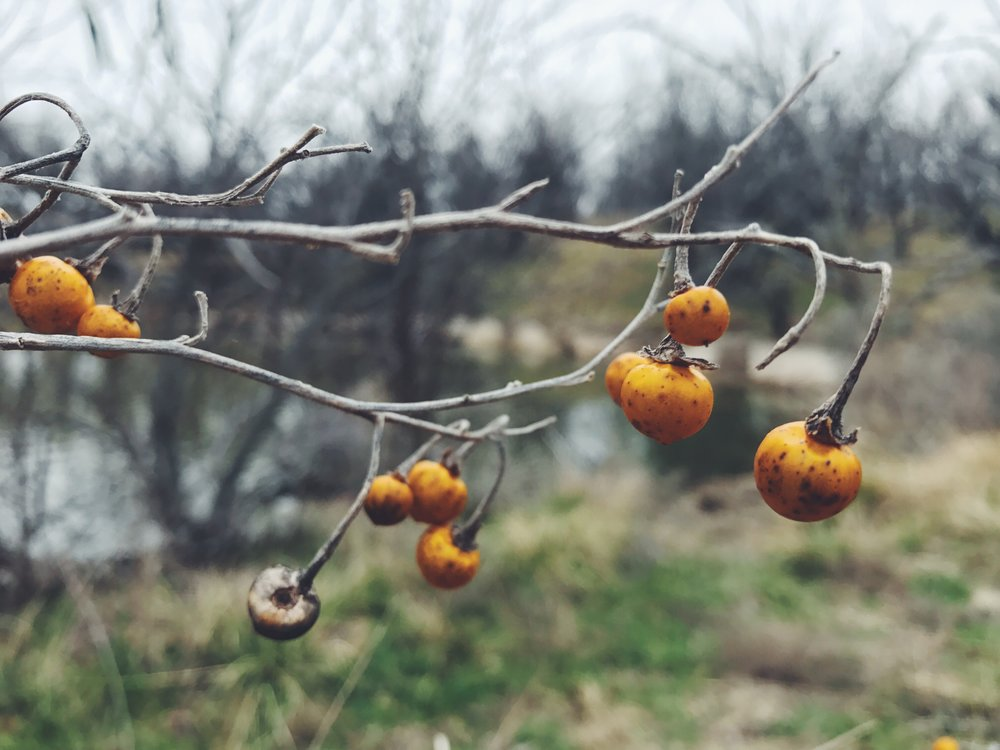 Solanum elaeagnifolium, Silverleaf Nightshade