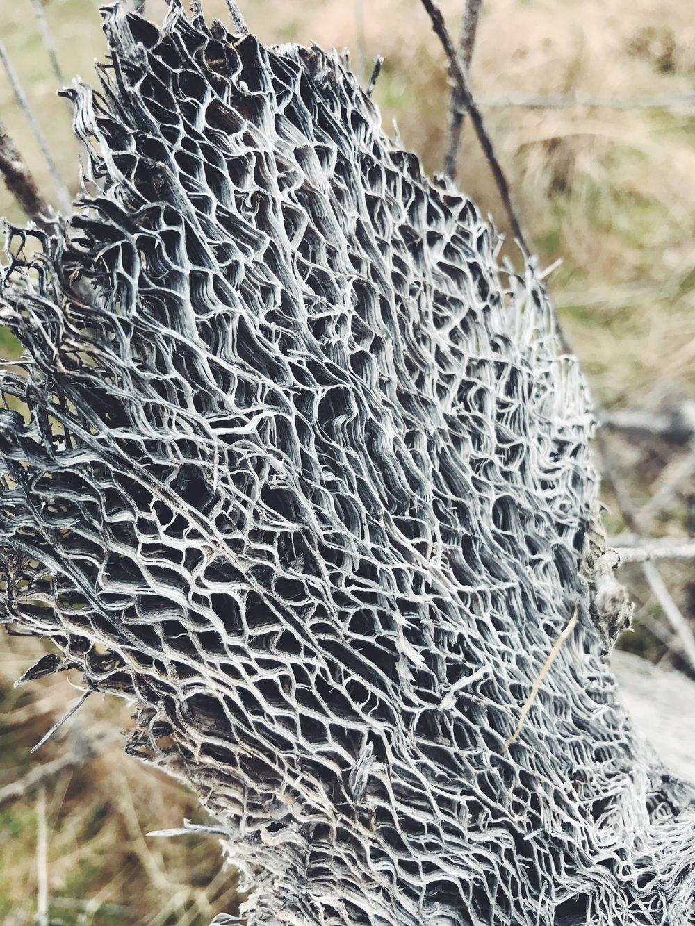 Opuntia sp., Prickly Pear Cactus skeleton