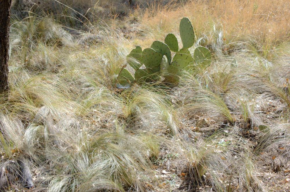 Nassella tenuissima, Mexican Feathergrass