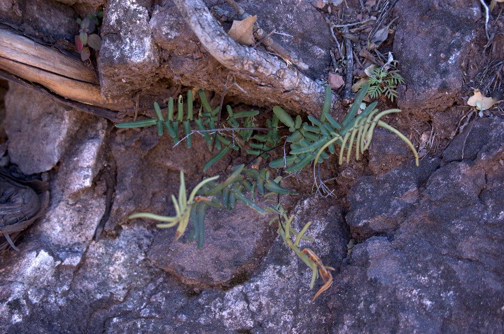 Pellaea atropurpurea, Purple Cliffbrake