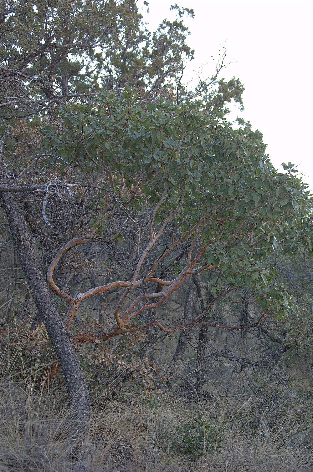 Arbutus xalapensis, Texas Madrone
