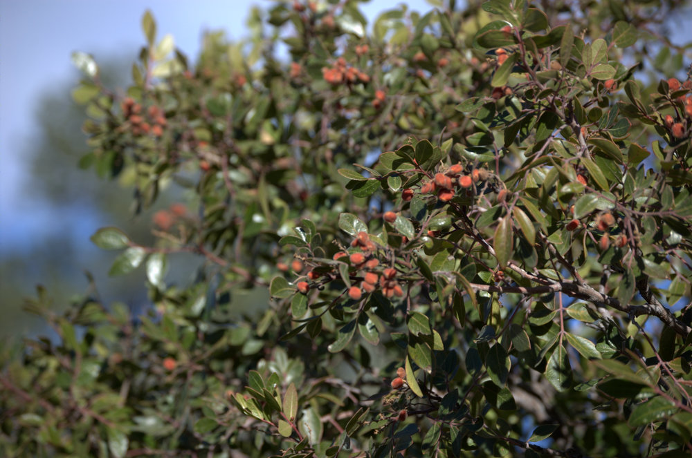Rhus virens, Evergreen Sumac