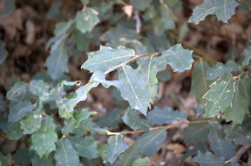Quercus tardifolia, Chisos Mountains Oak???