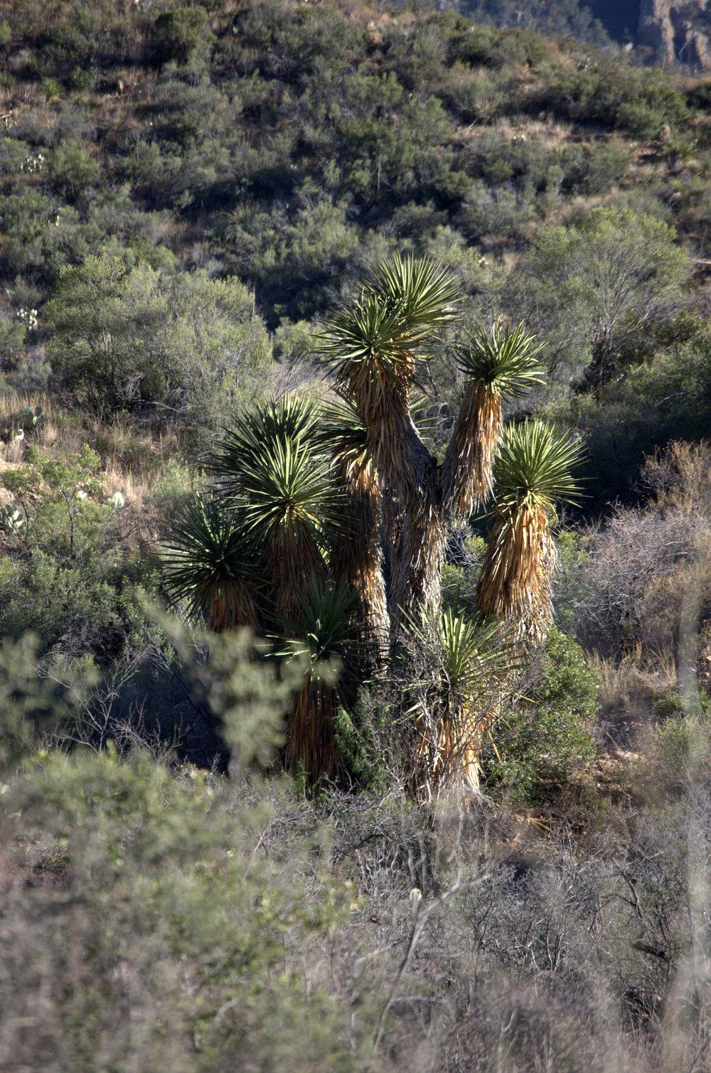 Yucca torreyi, Spanish Dagger
