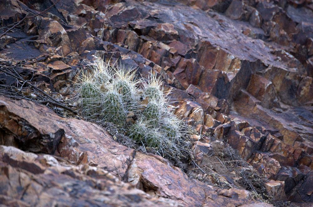 Echinocereus stramineus, Strawberry Hedgehog Cactus