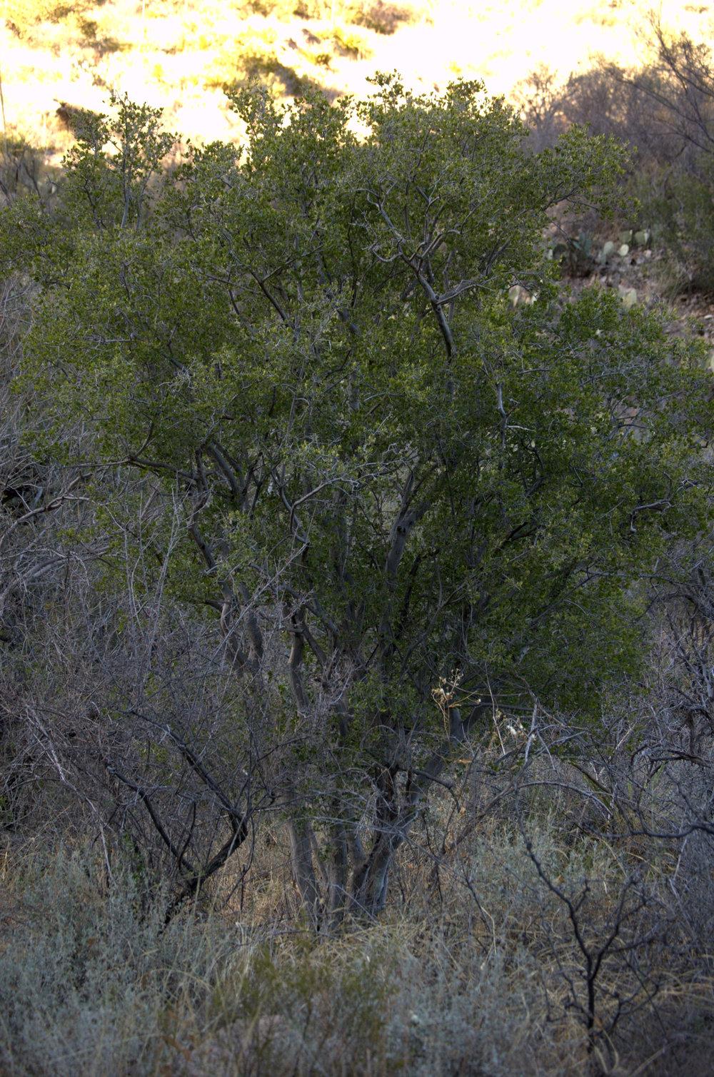 Diospyrus texana, Texas Persimmon