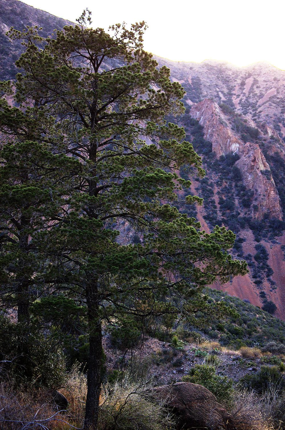 Pinus ponderosa, Ponderosa Pine