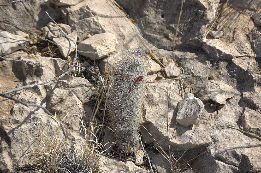 Mammillaria pottsii, Rat-tail Nipple Cactus