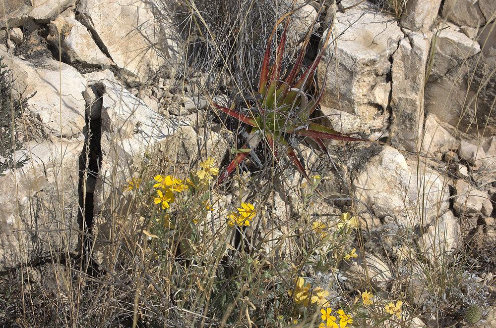 Hechtia texensis, Texas False Agave
