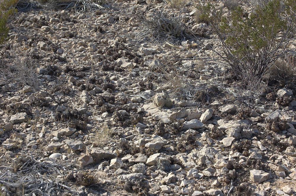 Selaginella pilifera, Resurrection Plant