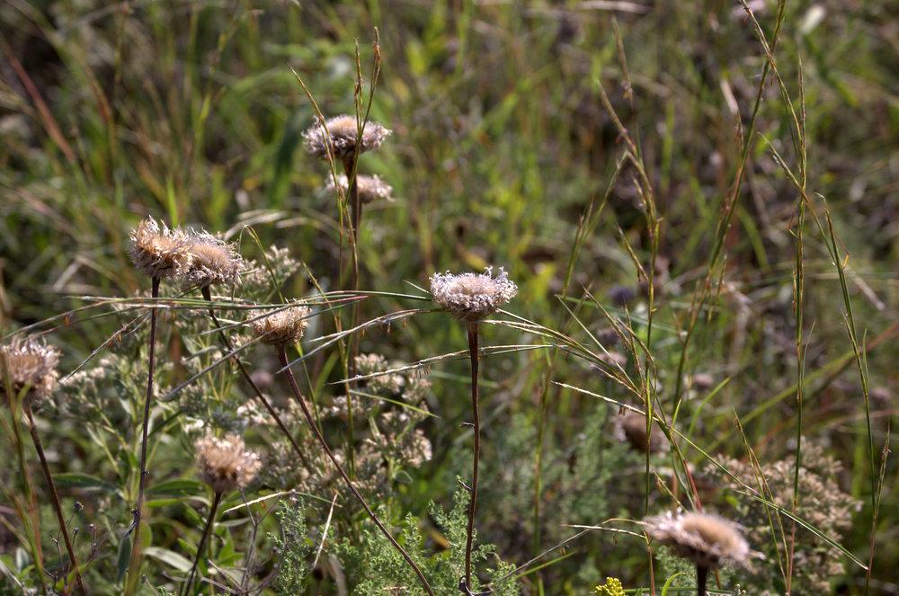 Centaurea americana, American Basketflower