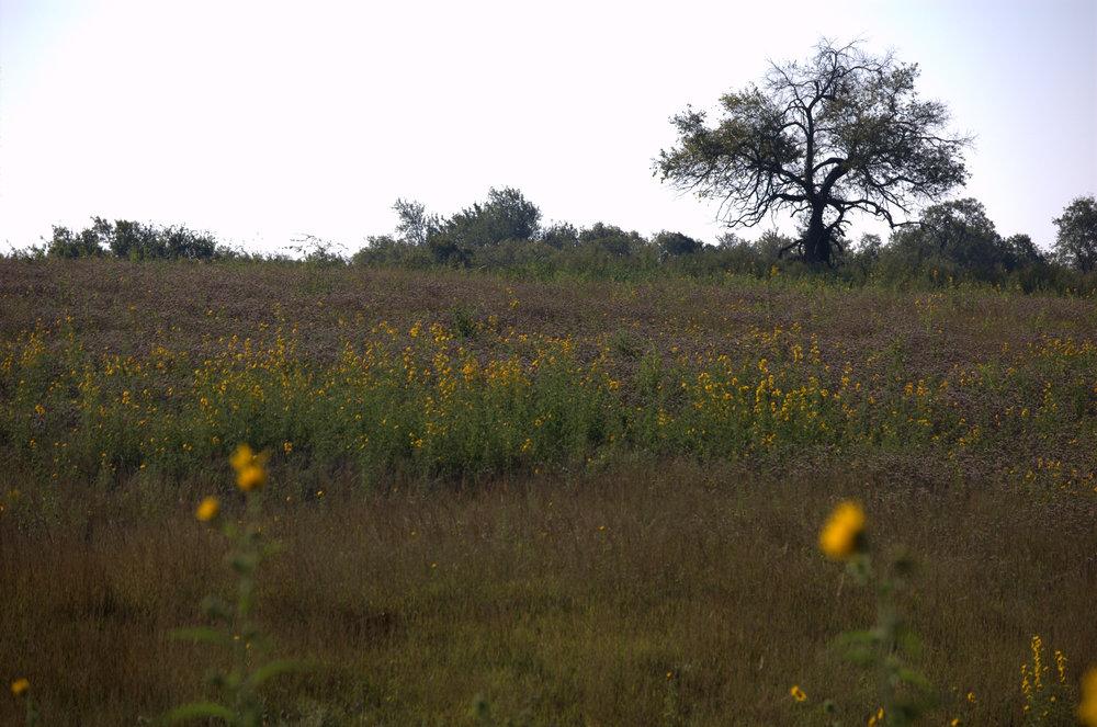 Helianthus maximiliani, Maximilian Sunflower