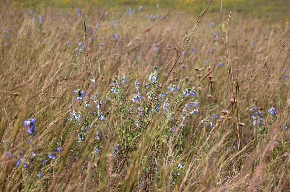 Salvia azurea, Pitcher Sage