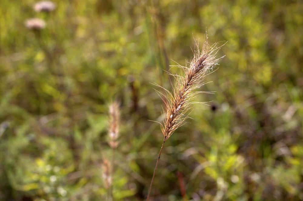 Elymus canadensis, Canadian Wild Rye