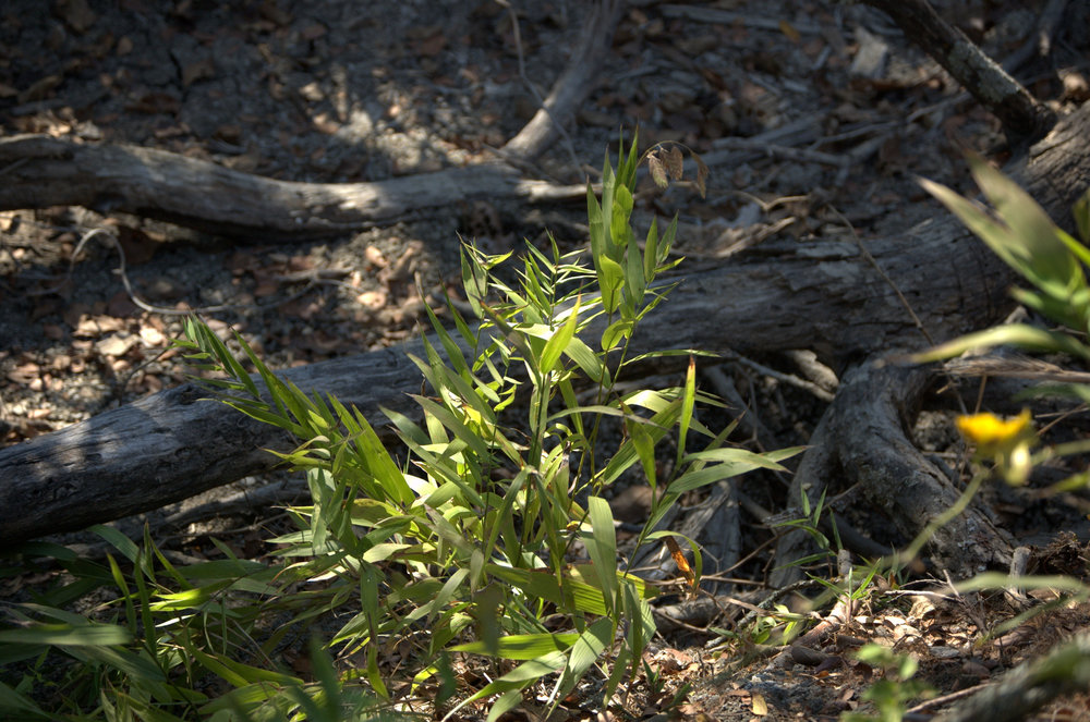 Chasmanthium latifolium, Inland Sea Oats