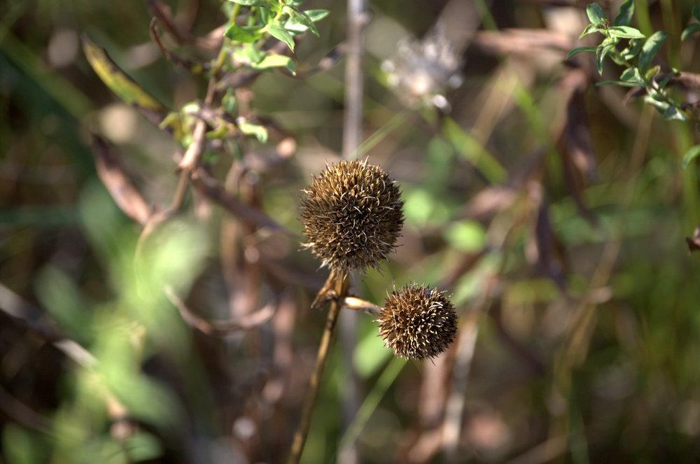 Echinacea angustifolia, Narrow-leaf Coneflower