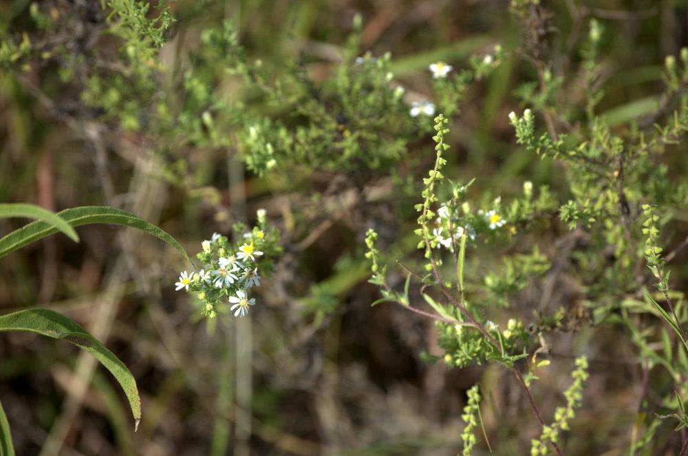 Symphyotrichum ericoides, Heath Aster