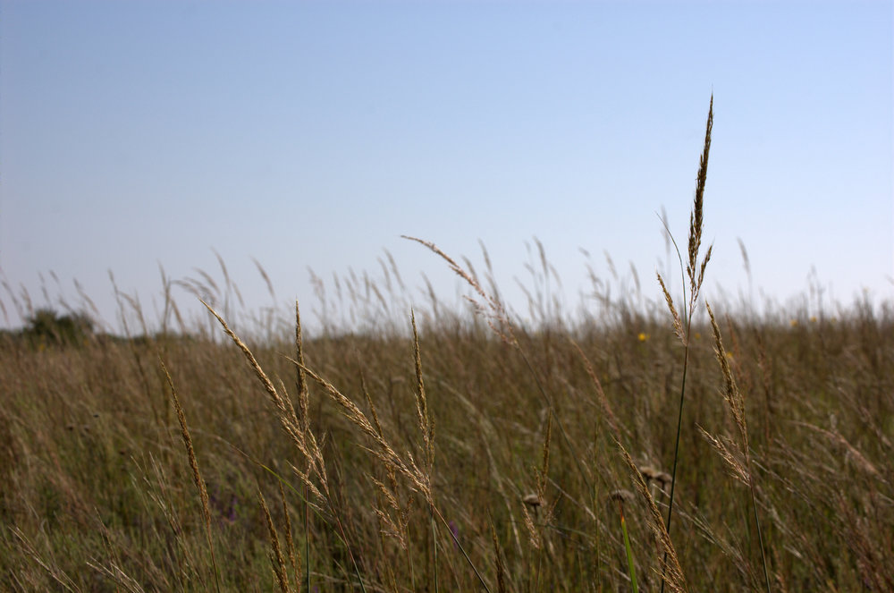 Sorghastrum nutans, Indiangrass