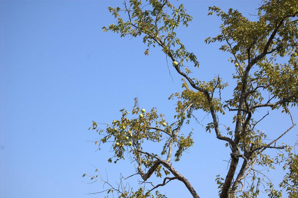 Maclura pomifera, Osage Orange