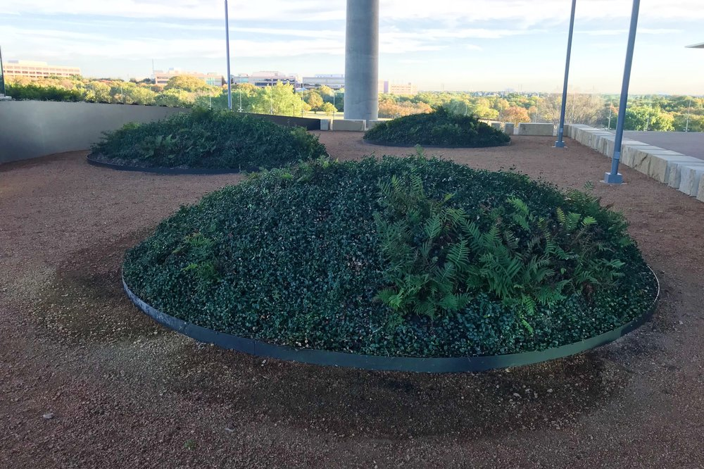 Rooftop garden with mounds of Trachelospermum asiaticum, Asian Jasmine and Dryopteris ludoviciana, Southern Wood Fern