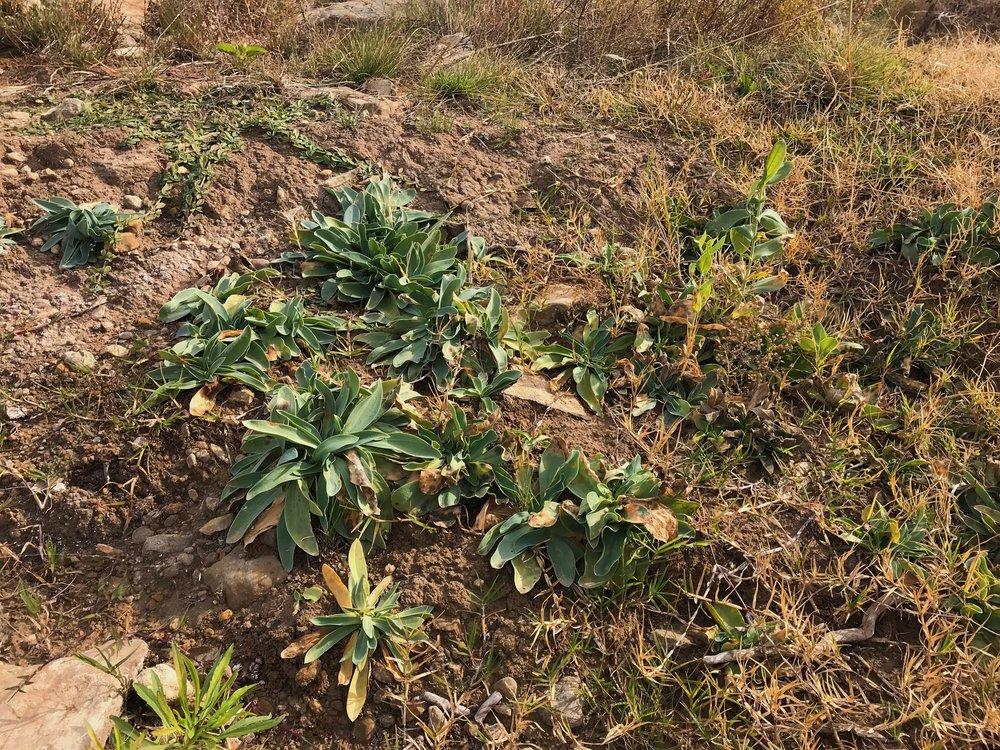 Eustoma exaltatum ssp. russellianum, Texas bluebells