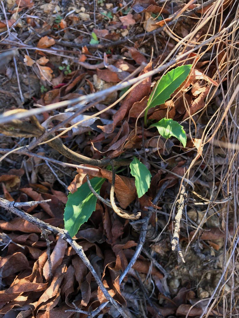 Penstemon cobaea, Prairie penstemon