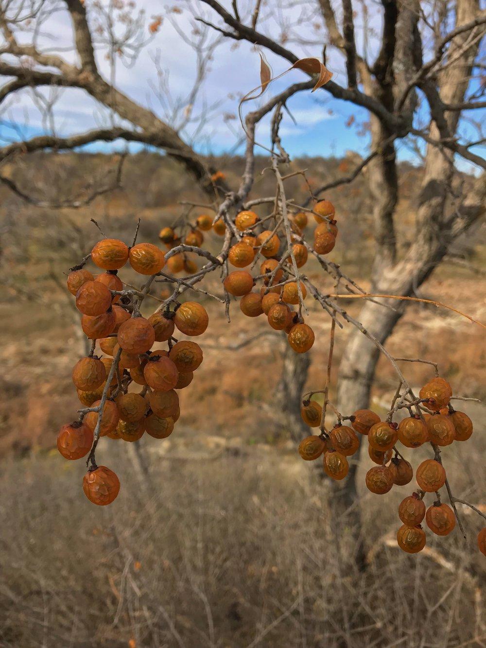Sapindus saponaria var. drummondii, Western soapberry