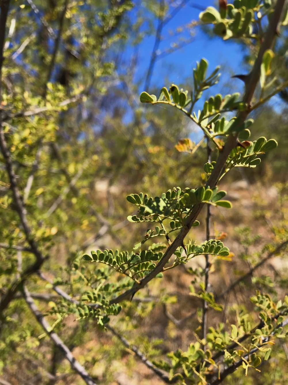Mimosa borealis, Fragrant mimosa
