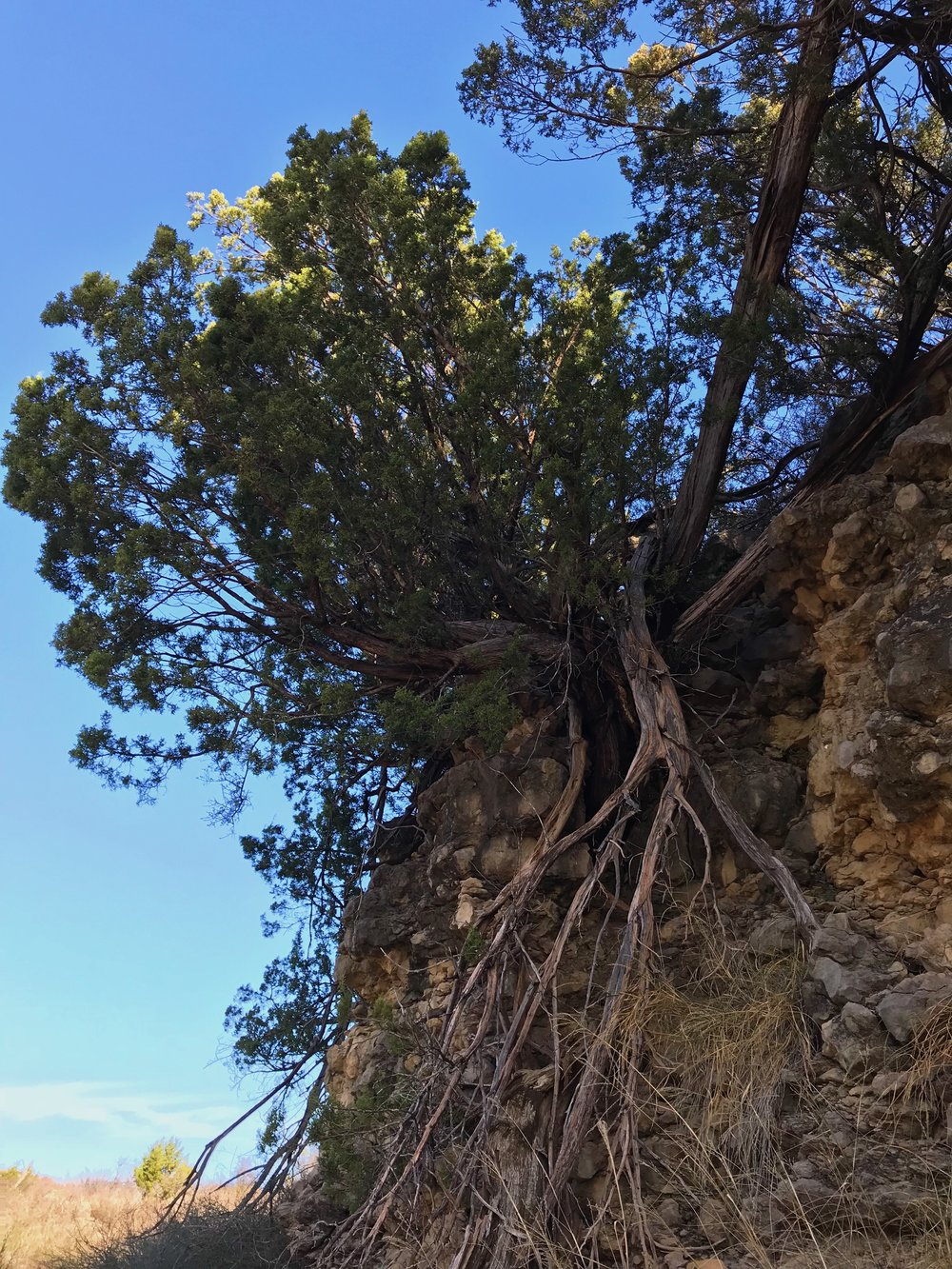Juniperus pinchotii, Redberry juniper