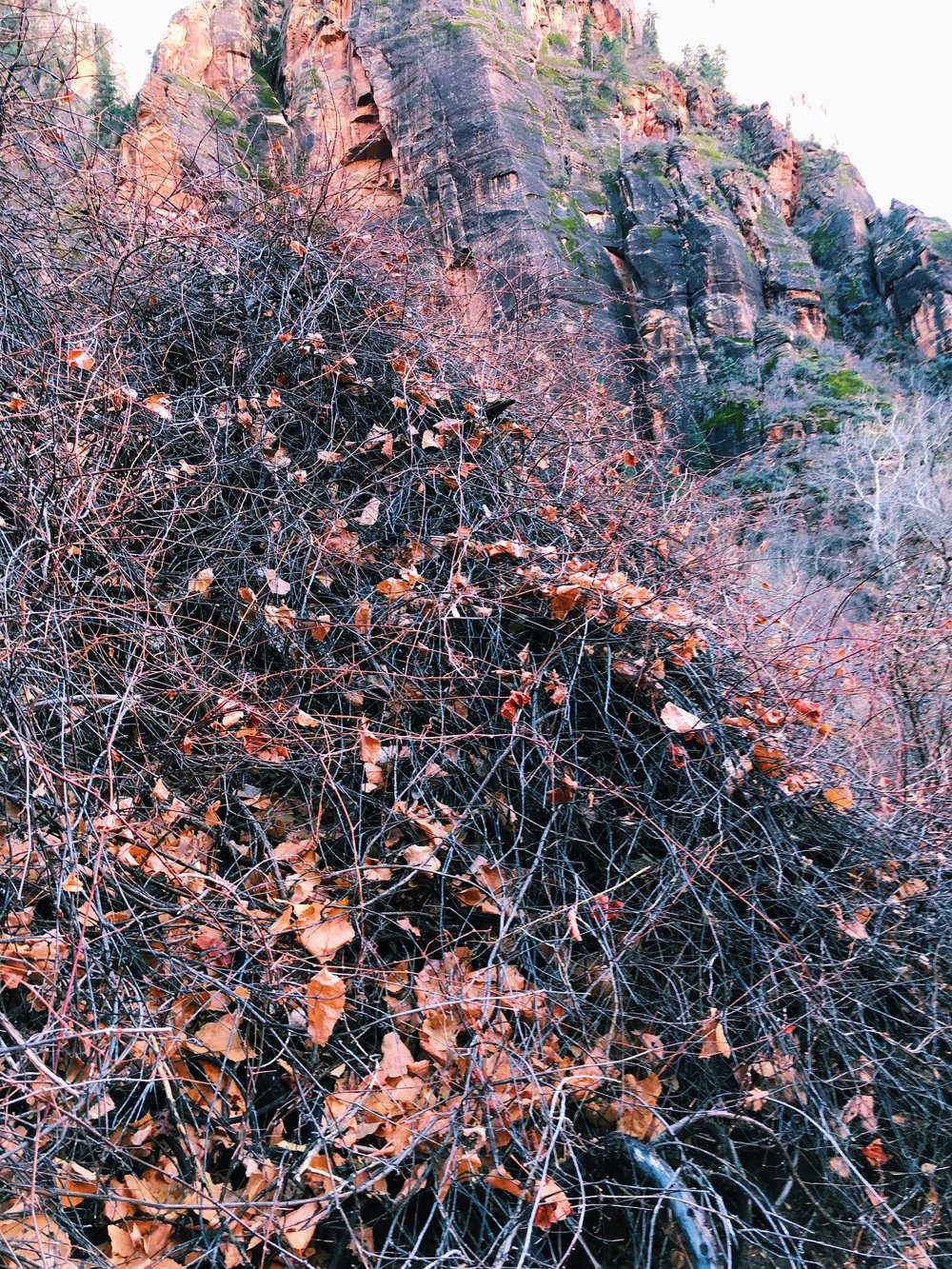 Vitis arizonica, Canyon wild grape
