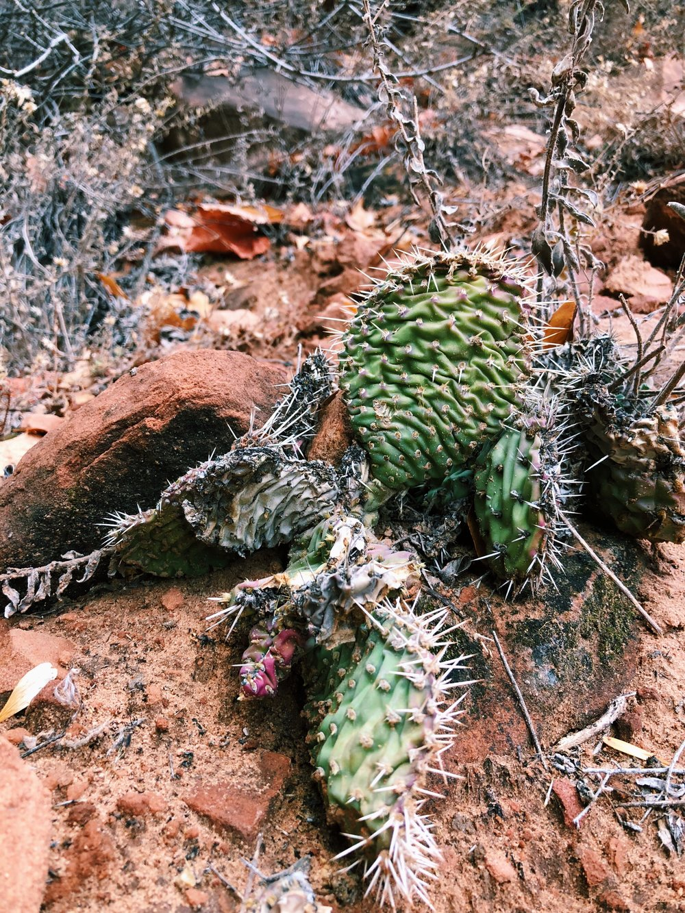 Opuntia polyacantha, Plains prickly pear