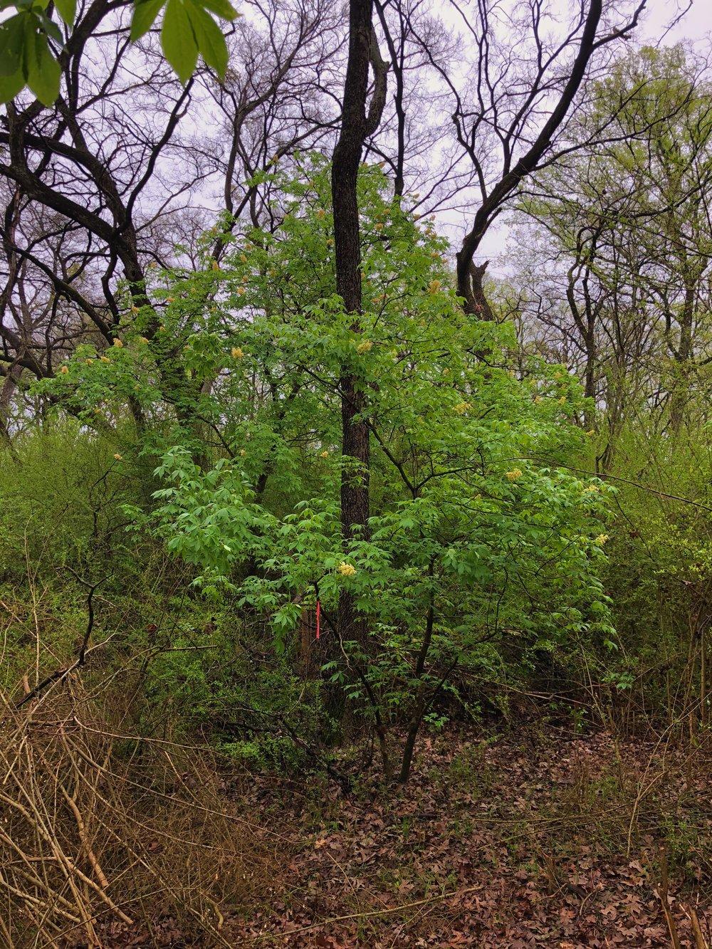 Aesculus glabra var. arguta, Texas buckeye