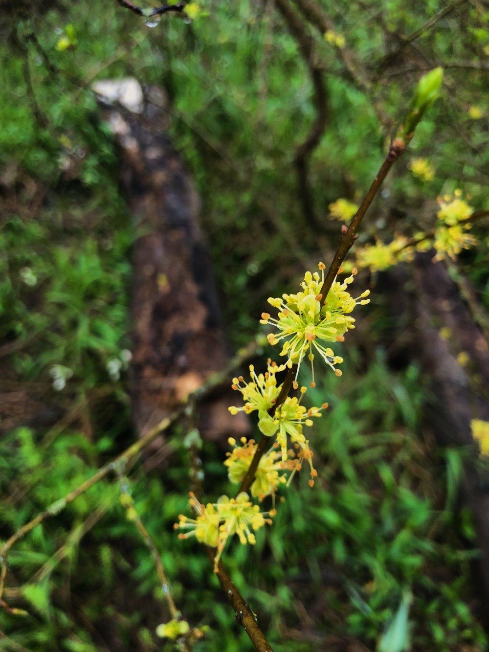 Forestiera acuminata, Eastern swamp privet