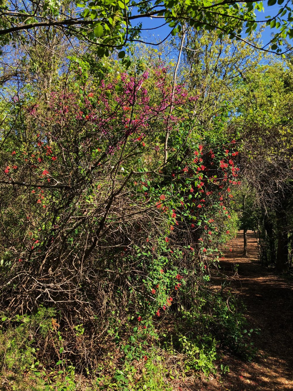 Cercis canadensis, Eastern redbud and Lonicera sempervirens, Coral honeysuckle